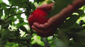 De landbouwer overhandigt het plukken tomaten op een installatie in een serre stock videobeelden