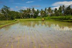 De landbouwer plant rijst op de padievelden in Ubud, Bali Stock Foto