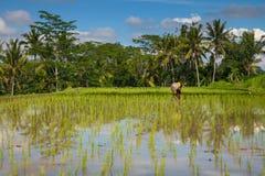 De landbouwer plant rijst op de padievelden in Ubud, Bali Royalty-vrije Stock Foto's