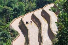 De landbouwer plant rijst op terrasvormig gebied voor nieuw seizoen Royalty-vrije Stock Foto