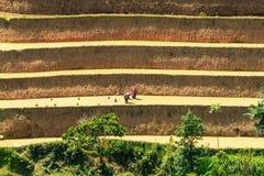 De landbouwer plant rijst op terrasvormig gebied voor nieuw seizoen Royalty-vrije Stock Foto's