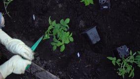 De landbouwer plant tomaten stock footage