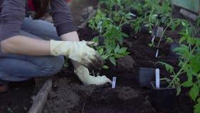 De landbouwer plant tomaten stock video