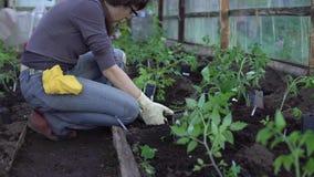 De landbouwer plant tomaten stock videobeelden