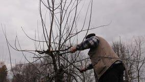 De landbouwer snoeit takken van fruitbomen in boomgaard gebruikend lange loppers op ladders stock footage