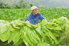 De Landbouwer van de tabak Stock Foto