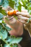 De Landbouwer van de tomatenoogst het plukken tomaten royalty-vrije stock afbeelding