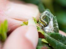 De landbouwer verwijdert larvenongedierte uit bukshout Stock Fotografie
