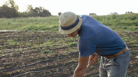 De landbouwer verwijdert onkruid door schoffel op graangebied met de jonge groei bij organisch ecolandbouwbedrijf Stock Afbeelding