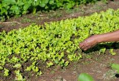 De landbouwer verzamelt groente Stock Afbeelding