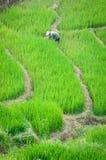De landbouwer in Vietnam kweekt rijst in het terras Royalty-vrije Stock Afbeelding