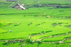 De landbouwer in Vietnam kweekt rijst in het terras Stock Fotografie
