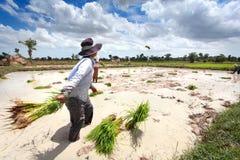 De landbouwer werpt rijstzaailing Stock Afbeeldingen