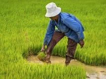De landbouwer Working op Padieveld, Siem oogst, Kambodja Stock Afbeelding