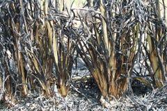 de landbouwers branden opzettelijk van hun Rijststoppelvelden op de volgende cyclus voor te bereiden Royalty-vrije Stock Fotografie