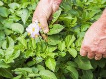 De landbouwers controlerende groei van aardappelplanten in moestuin, inlandse natuurvoedingproductie royalty-vrije stock fotografie