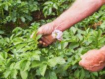De landbouwers controlerende groei van aardappelplanten in moestuin, inlandse natuurvoedingproductie stock foto