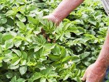 De landbouwers controlerende groei van aardappelplanten in moestuin, inlandse natuurvoedingproductie stock afbeeldingen