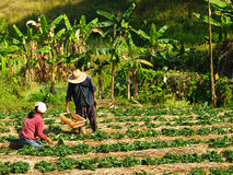 De landbouwers cultiveerden in aardbeilandbouwbedrijf, Chiang rai, Thailand Royalty-vrije Stock Foto