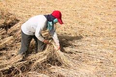De landbouwers die rijst oogsten Stock Foto's