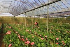 De landbouwers die van Vietnam gerber in groen huis oogsten Royalty-vrije Stock Fotografie