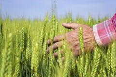 De landbouwers dienen tarwegebied in Nadruk op hand Royalty-vrije Stock Foto's