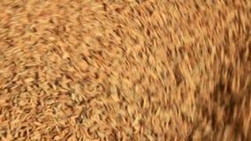 De landbouwers gezette korrel stock footage