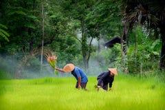 De landbouwers kweken rijst die in het regenachtige seizoen in padieveld werken E stock foto