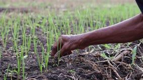 De landbouwers nemen het gras uit de knoflookpercelen stock footage