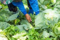 De landbouwers oogsten het koollandbouwbedrijf stock fotografie