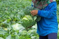 De landbouwers oogsten het koollandbouwbedrijf royalty-vrije stock foto's