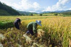 De landbouwers oogsten scherp hun gewassen tijdens het oogstseizoen binnen stock fotografie