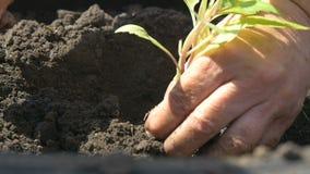 De landbouwers planten installaties in de grond stock footage