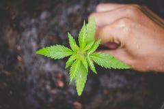De landbouwers planten marihuanazaailingen, Landbouwer Holding een Cannabisinstallatie stock afbeelding