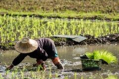 De landbouwers planten rijst in het landbouwbedrijf stock fotografie