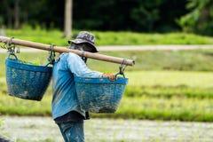 De landbouwers planten rijst in het landbouwbedrijf stock afbeeldingen