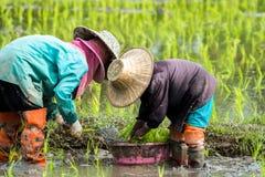 De landbouwers planten rijst in het landbouwbedrijf stock foto's