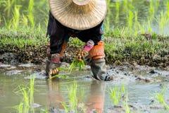 De landbouwers planten rijst in het landbouwbedrijf royalty-vrije stock fotografie