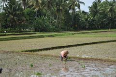 De landbouwers planten rijst op padiegebieden Stock Foto's