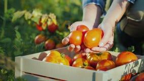 De landbouwers` s handen houden een paar tomaten, naast het is er een houten doos met tomaten stock footage