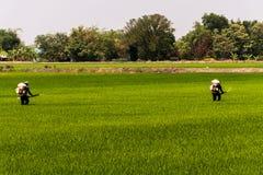 De landbouwers spuiten pesticiden in beschermen installaties bij padievelden stock foto's