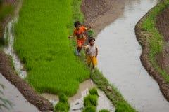 De landbouwers van de rijst Stock Foto