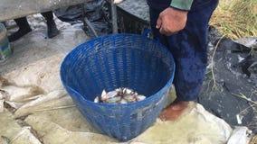 De landbouwers van Thailand oogsten vissen van hun vijver met een visnet in Chachoengsao stock videobeelden