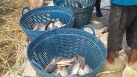 De landbouwers van Thailand oogsten vissen van hun vijver met een visnet in Chachoengsao stock video