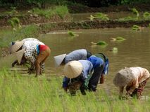 De landbouwers werken bij padieveld stock afbeeldingen