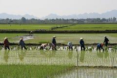 De landbouwers werken in een padieveld dichtbij Tam Coc (Vietnam) Stock Afbeelding