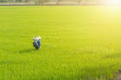 De landbouwers zaaien meststof in rijst royalty-vrije stock foto