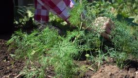 De landbouwershanden maakt rijen van dille schoon Het kweken van organische greens op een landbouwbedrijfperceel stock videobeelden