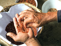 De landbouwershanden selecteren rijstzaad Stock Fotografie