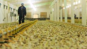 De landbouwerswerken met pasgeboren kuikens op gevogeltelandbouwbedrijf stock footage